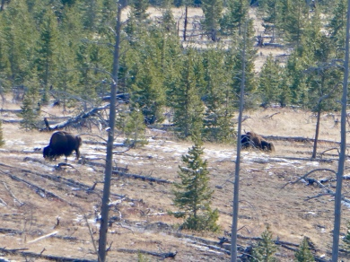 Bison grazing on the Thorofare