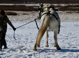 Percheron draft horse